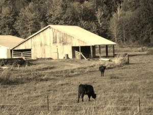 cattle and barn